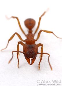 Trachymyrmex septentrionalis fungus-growing ant.  Archbold Biological Station, Florida, USA