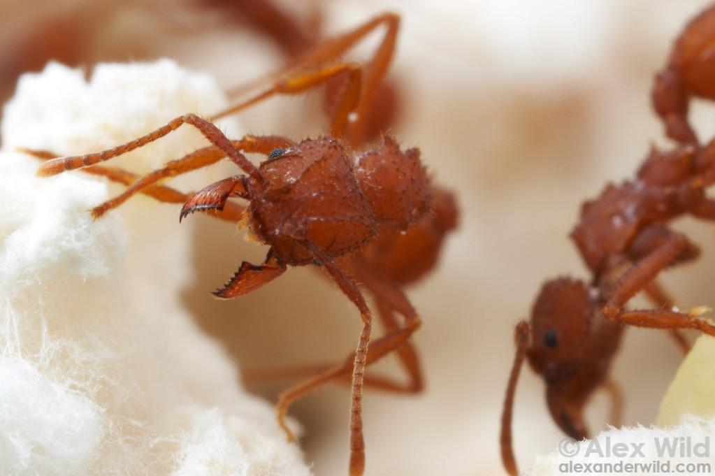 Trachymyrmex desertorum  Tucson, Arizona, USA