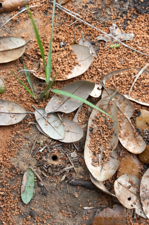 Trachymyrmex turrifex, nest entrance.  Austin, Texas, USA