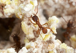 Trachymyrmex septentrionalis in the fungus garden.  Laboratory colony at the University of Texas