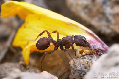 A Trachymyrmex carinatus forager carries a flower petal back to her nest.  The petal will be fed to the colony's fungus garden.  Portal, Arizona, USA