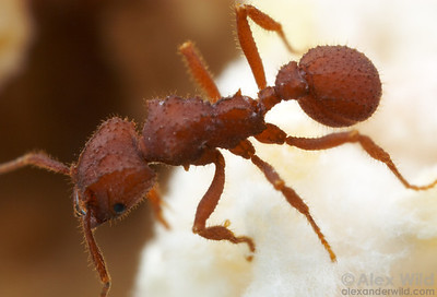 Trachymyrmex desertorum. The tubercles covering the body are typical of this fungus-growing ant genus.  Tucson, Arizona, USA