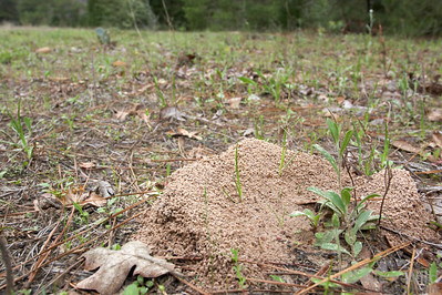 Trachymyrmex septentrionalis fungus-growing ant nest.  Smithville, Texas, USA