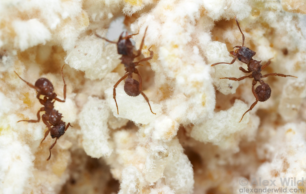 Inside the fungus garden of Trachymyrmex turrifex.  Austin, Texas, USA