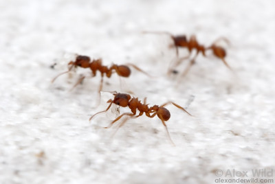 Trachymyrmex septentrionalis workers carrying sand excavated from deep in the nest.  Archbold Biological Station, Florida, USA