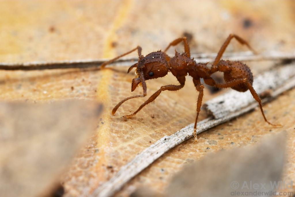 Trachymyrmex arizonensis  Portal, Arizona, USA