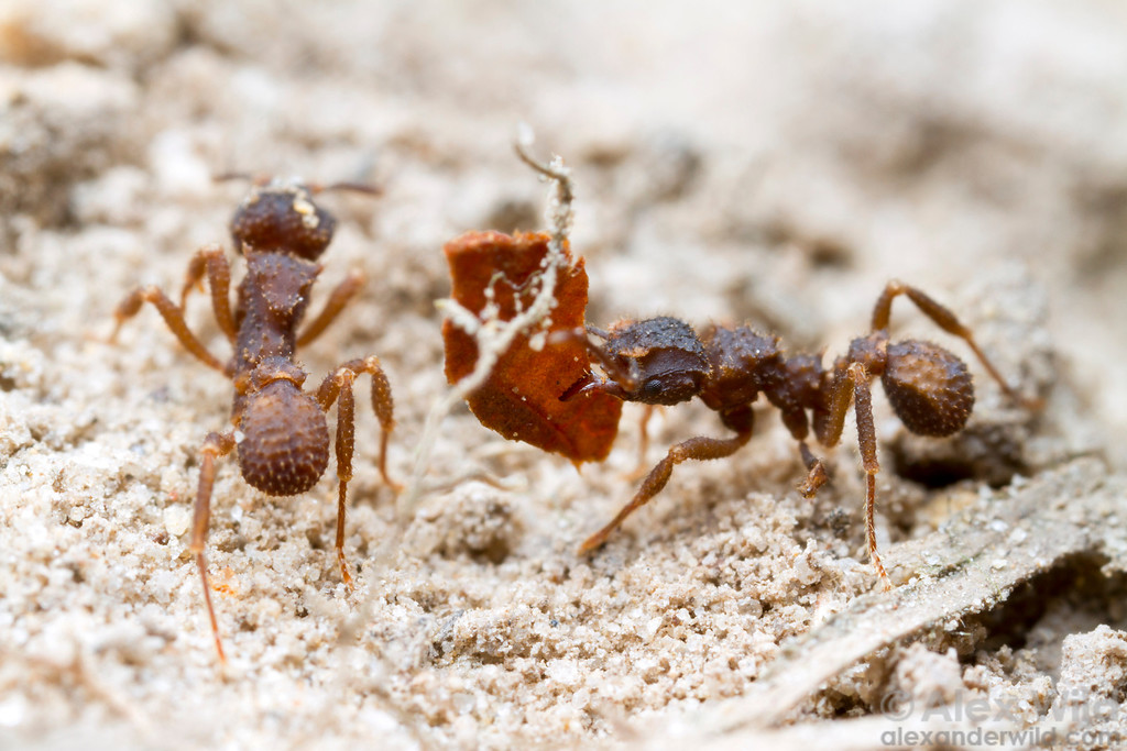 Trachymyrmex foragers bring bits of detritus back to the nest.  Icononzo, Tolima, Colombia