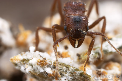 Trachymyrmex arizonensis foundress queen in her incipient fungus garden.  Notice the fine white hyphae of the mutualistic fungus as it grows over the substrate of vegetative debris she has provided for it.  Tucson, Arizona, USA