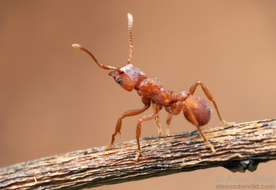 Trachymyrmex pomonae  Portal, Arizona, USA
