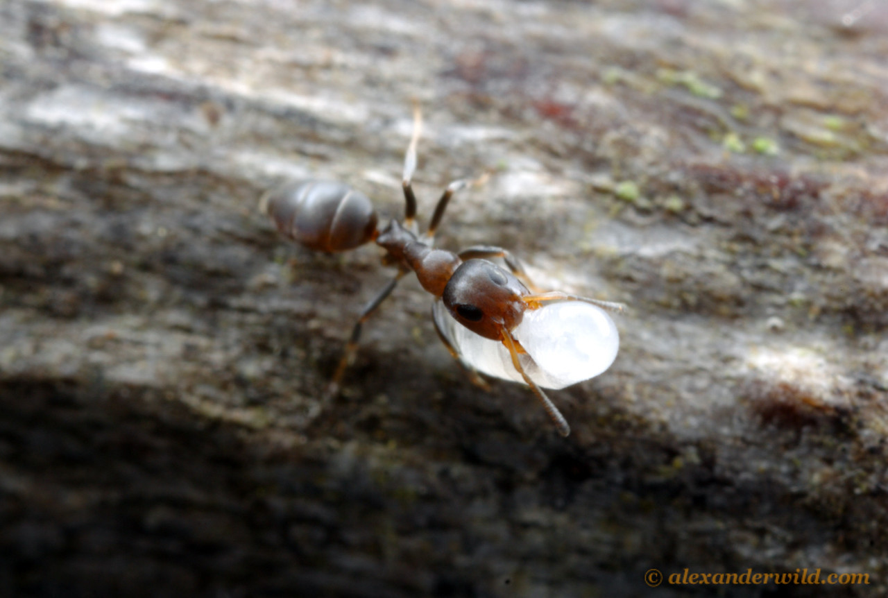 Turneria bidentata worker carrying a larva to safety after the photographer disturbed her nest.  Cape Tribulation, Queensland, Australia