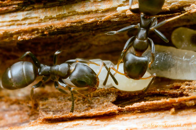 Turneria bidentata nest in a mangrove twig.  Cape Tribulation, Queensland, Australia