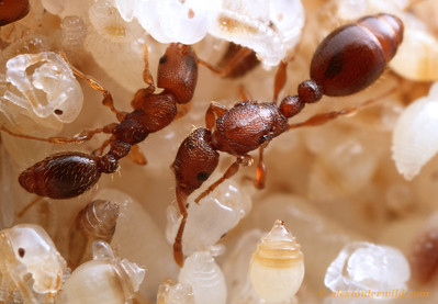 Vollenhovia emeryi worker (left) and queen. The larger size and more elaborate thorax distinguish most queens from worker ants.  Washington, DC, USA
