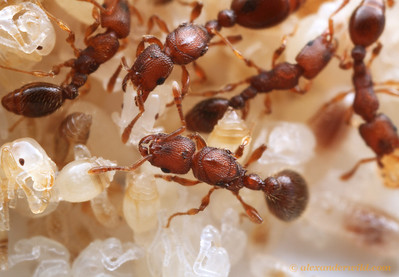 Vollenhovia emeryi colonies contain many laying queens. This photograph shows two, with workers and pupae.  Washington, DC, USA