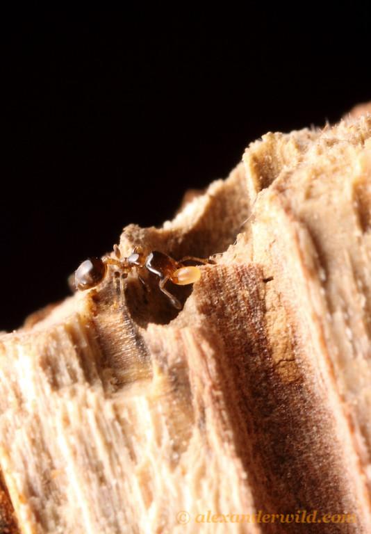 Xenomyrmex floridanus  Archbold Biological Station, Florida, USA