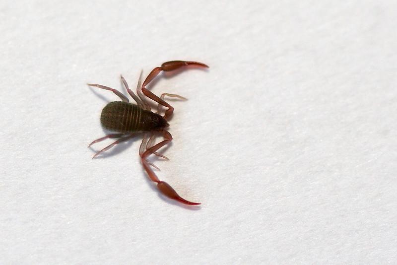 """Kirjaskorpioni (n. 1,5 mm pitkä, kun mukaan ei lasketa """"pihtejä""""), Bokskorpion, Book scorpion, Chelifer cancroides"""