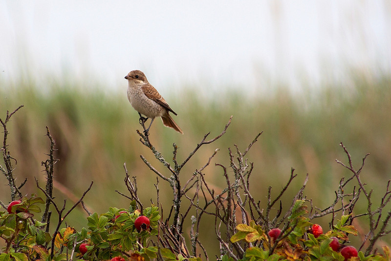 Pikkulepinkäinen (Hanko - FINLAND)<br /> Törnskata (Hangö)<br /> Red-Backed Shrike, Lanius collurio