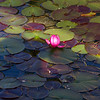 13April11 - Streak of light over lotus.<br /> SMCP-FA 77mm f/1.8