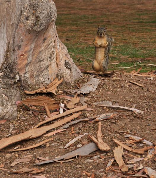 19Sept10-Once a month obligatory squirrel shot.<br /> SMCP-FA 135mm f/2.8