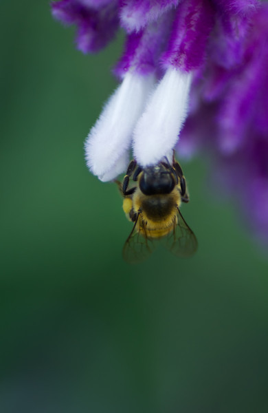19June11 - Bee on fur.