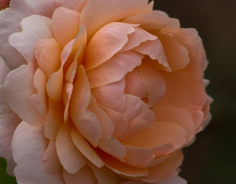 14June11 - Peachy big rose 3.