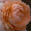 14June11 - Peachy big rose 3.