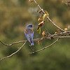 9Nov11. Bluebird #2