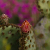 17April11 - Cactus flower field.<br /> SMCP-77mm f/1.8