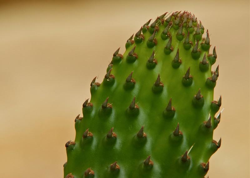 18Sept10-Cactus penca.<br /> Tamron 70-200mm f/2.8