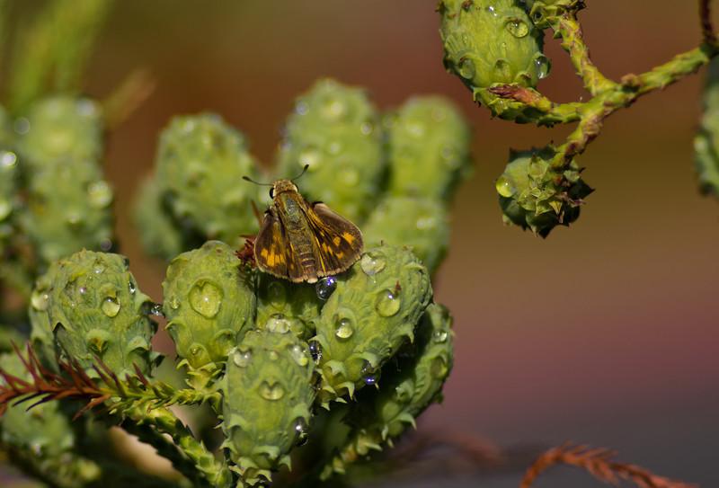 1Sep11 - Mustard moth.