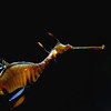 7March11 - And this is the not-quite-so-flashy Weedy seadragon. <br /> Tamron 28-75mm f/2.8