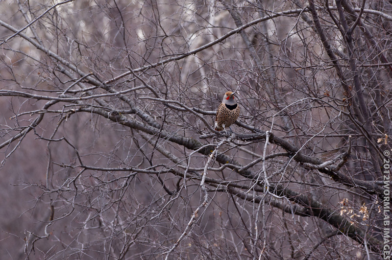 11April12 - Northern Flicker.