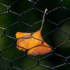 8Nov11. Ginko fence.