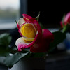 25Apr11 - Office rose.<br /> SMCP-FA 43mm f/1.9