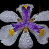 18March12 - Wet iris. Good to post again, been away for a week or so. Rainy weekend is a good time to return.