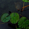 19Oct10-Turtle pad.<br /> Sigma 50-150mm f/2.8