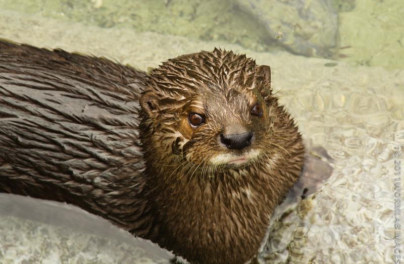 29Sep11 River otter.
