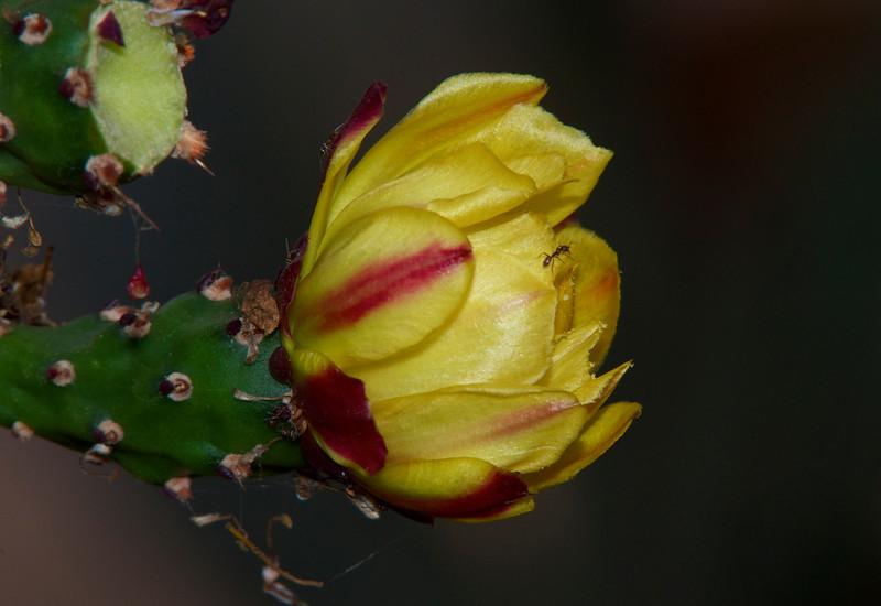 18Sept10-Cactus flower + ants.<br /> Tamron 70-200mm f/2.8