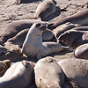 18November10- Young elephant seal.<br /> Sigma 50-150mm f/2.8