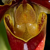 13Feb11 - Carnivorous pitcher plant. What can I say, I'm a true romantic soul.<br /> SMCP-DFA 100mm WR f/2.8