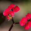 1March12 - Bee red.
