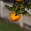 12Dec10- Two oranges and a white picket fence.<br /> SMCP-DFA 100mm WR f/2.8
