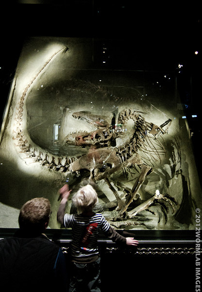 19April12 - Dino-wonderment. From the Royal Tyrrell Museum in Drumheller, Alberta. This is the real thing fossil of Gorgosaurus in death pose--one of the finest specimens in any collection--not a reproduction. Not that this little one would care anyway--he was in dinosaur heaven.