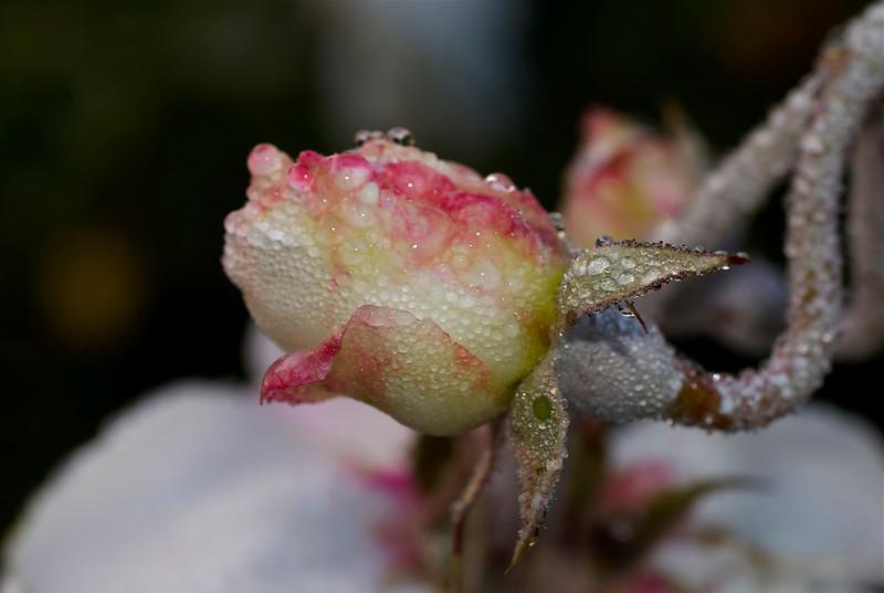 20Nov10- Morning Rose.<br /> SMCP-FA 50mm f/2.8