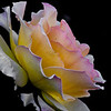 28Apr12 - rose#38