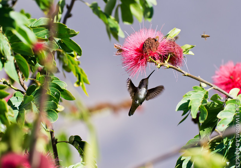 """3Dec11. Let me tell you about the birds and the bees, and the flowers and the trees. This is my little rufous hummingbird female again. This site has excellent info on many different hummingbirds :<br /> <a href=""""http://www.allaboutbirds.org/guide/Rufous_Hummingbird/id"""">http://www.allaboutbirds.org/guide/Rufous_Hummingbird/id</a>"""