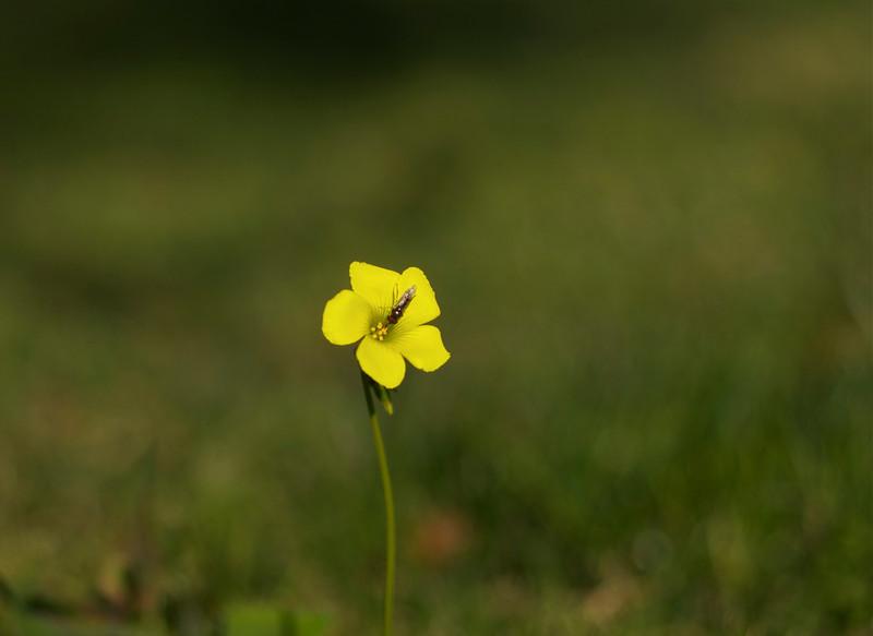 22Jan11 - Yellow flower.<br /> SMCP-FA 77mm f/1.8
