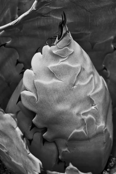11May11 - Monochrome agave.