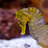 8March11 - Yellow seahorse. One last image from this aquarium series. <br /> Happy Mardi gras...<br /> Tamron 28-75mm f/2.8