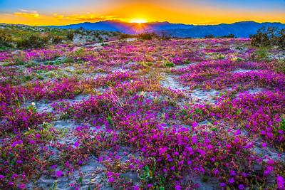 Anza-Borrego Spring Symphony #5: Anza Borrego Desert State Park Wildflowers Superbloom Fine Art Landscape Photos!  Elliot McGucken's Anza-Borrego Desert State Park Wild Flowers Super Bloom Fine Art Landscape Nature Prints & Wall Art