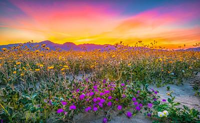 Anza-Borrego Spring Symphony #4: Anza Borrego Desert State Park Wildflowers Superbloom Fine Art Landscape Photos!  Elliot McGucken's Anza-Borrego Desert State Park Wild Flowers Super Bloom Fine Art Landscape Nature Prints & Wall Art